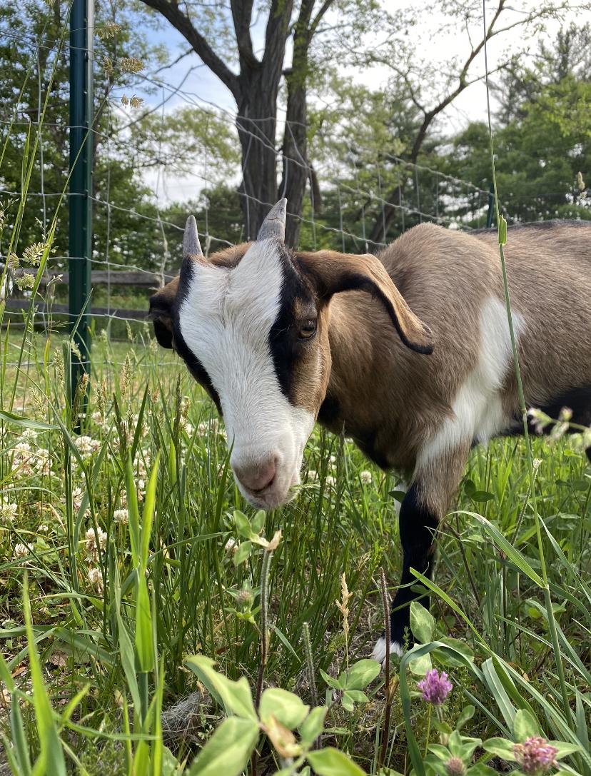Spice of Life Farm goats pigs soap csa