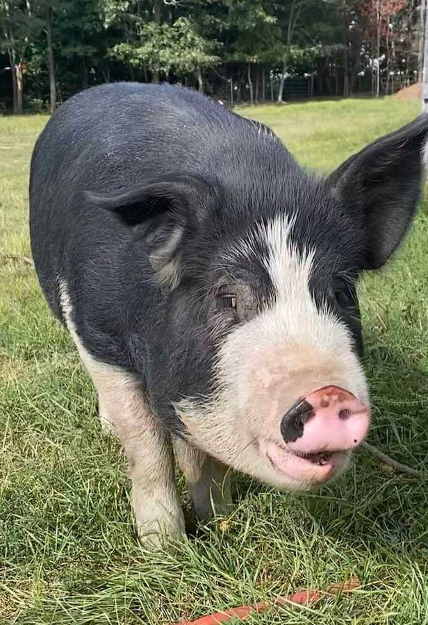 Kunuekune Berkshire heritage pigs at Spice of Life Farm in Conway, NH