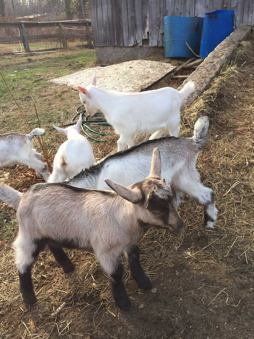 NH goat rentals at Spice of Life Farm